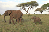 African Elephant Cow and Calf Photographic Print