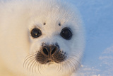 Harp Seal Baby Fotografisk tryk
