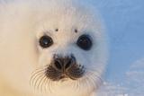 Harp Seal Baby Reprodukcja zdjęcia