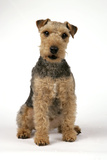 Lakeland Terrier Sitting Down Photographic Print