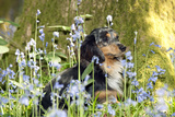 Miniature Long Haired Dachshund Sitting in Bluebells Photographic Print