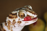 Giant Ground Gecko Photographic Print