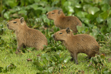 Capybara Photographic Print