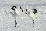Red-Crowned Crane Pair Displaying Reproduction photographique