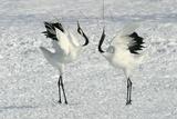 Red-Crowned Crane Pair Displaying Fotodruck
