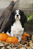 Cavalier King Charles Spaniel with Broom and Pumpkins Photographic Print