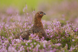 Red Grouse Amongst Heather Reproduction photographique