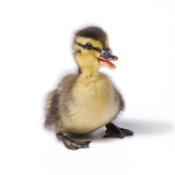 Mallard Duck Duckling at 24 Hours Photographic Print