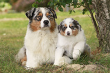 Australian Sheepdogs, Shepherd Dogs Photographic Print