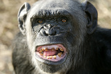 Chimpanzee Yawning Showing Close-Up of Mouth Photographic Print