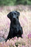 Black Labrador Dog in Heather Photographic Print