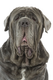 Neapolitan Mastiff Photographic Print