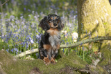 Miniature Long Haired Dachshund in Bluebells Photographic Print