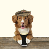 Nova Scotia Duck Tolling Retriever Wearing Fotografisk tryk