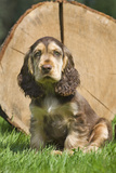 English Cocker Spaniel Puppy in Garden Photographic Print