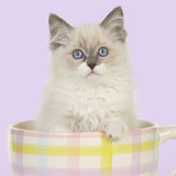 Ragdoll Kitten Sitting in Tea Cup Photographic Print