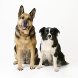 German Shepherd, Alsatian Dog with Border Collie Photographic Print
