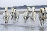 Camargue Horses Running Through Water Photographic Print