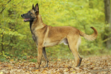 Belgian Shepherd Dog Photographic Print