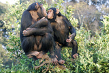 Chimpanzee Two in Tree Photographic Print