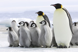 Emperor Penguin Adults with Chicks Photographic Print