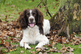 English Springer Spaniel Sitting in Leaves Photographic Print