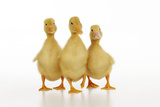 Three Ducklings Stood in a Row Photographic Print