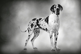 Harlequin Great Dane 15 Month Old Puppy Photographic Print