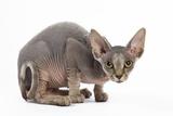 Sphynx Kitten 4 Months Old Fotodruck