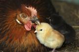 Chicken Hen with Chicks Photographic Print