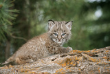 Bobcat Cub Climbing on Rock, 1 Month Old Photographic Print