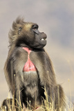 Gelada Baboon Male Sitting Photographic Print