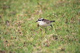 St Helena Sand Plover Only Endemic Landbird Photographie