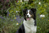 Border Collie Sitting in the Garden Photographic Print