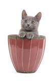 Chartreux Kitten in Flowerpot Photographic Print