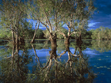 Paperbark Forest Weeping Paperbark in Billabong Photographic Print