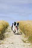 Border Collie Running Down Path Through Field Photographic Print