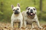 French Bulldog and English Bulldog Photographic Print