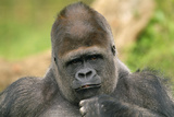 Lowland Gorilla Close-Up of Head Photographic Print