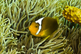 Anemonefish Unusual Hybrid Only Seen in the Png Photographic Print