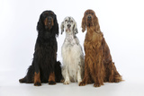 English Setter Sitting Between Gordon Setter Photographic Print