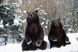European Brown Bear Two Sitting in Snow Photographic Print