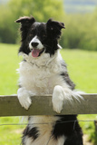 Border Collie Looking over Fence Photographic Print