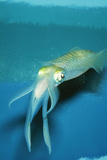 Japanese Squid Photographic Print
