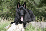 German Shepherd with Tongue Sticking Out Photographic Print