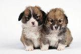 Two Corgi Puppies Photographic Print