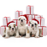 Bulldog Puppies Sitting with Christmas Presents Photographic Print