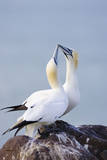 Northern Gannet Pair Crossing Bills as a Greeting Reproduction photographique