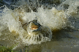 Orinoco Crocodile Female Jumping Out of the Water Photographic Print