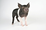 Saddleback Cross Piglet Photographic Print